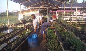 Kepala Desa (Kades) Putatnutug Mad Darmawan (celana coklat & kaus putih) saat melakukan perawatan tanaman di kebun herbal miliknya yang berada di lahan sekitar rumahnya.